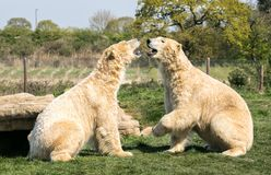 Two Polar bears play fighting. Two of Yorkshire Wildlife Parks polar bears. these two decided to have a play fight royalty free stock photo