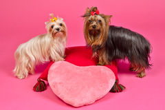 Two Yorky dogs with Valentines pink heart Royalty Free Stock Images