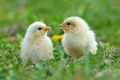 Two young chickens stock images