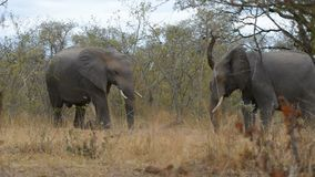 Two young african Elephants fighting in the bush. Wildlife safari in the Kruger National Park, South Africa stock footage
