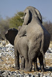 Two young African Elephants mating Stock Photo