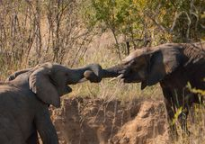Elephants playing tug with their trunks royalty free stock photos
