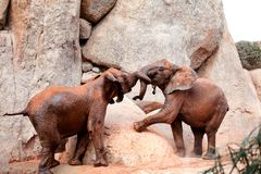 Two young African forest elephants playing at the zoo Royalty Free Stock Photos