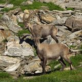 Two young alpine ibex Stock Image