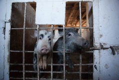 Two young, amusing piglet peeking from behind the bars of the enclosure. Animal breeding on a pig farm Royalty Free Stock Photo