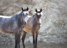 Two young andalusia. Horse standing in a pasture and looking to the camera Stock Images