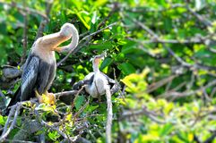 Two young Anhinga birds in wetland Royalty Free Stock Photo