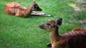 Two young Antelope Sitatunga stock video footage