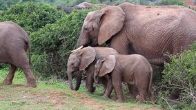 Two young baby elephants with a mother elephant. Two elephant babies playing and eating next to a protective female elephant stock video