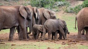 Two young baby elephants with a mother elephant. Two elephant babies playing and eating next to the protective herd stock video