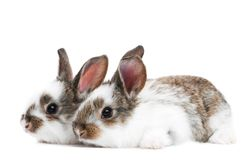 Two young baby rabbit isolated Stock Photography