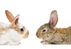 Two young baby rabbits isolated on Royalty Free Stock Images
