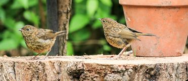 Two young baby Robins sat on a log Stock Images