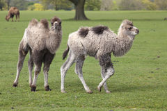 Two Young Bactrian Camels Stock Image