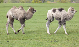 Two Young Bactrian Camels Royalty Free Stock Images