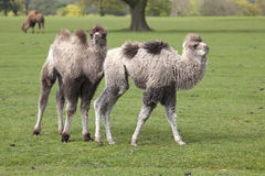 Two Young Bactrian Camels Royalty Free Stock Image