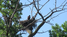 Two Young Bald Eagles in a Nest stock video