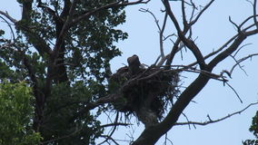 Two Young Bald Eagles in their Nest stock footage