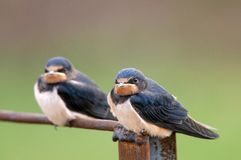 Two young Barn swallow Hirundo rustica sitting on iron wire.  Stock Photography