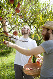 Two young bearded boys farmers that gathers peaches from tree Stock Image