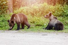 Two young bears came out of the woods Royalty Free Stock Images