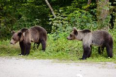 Two young bears on parking near forest. Royalty Free Stock Photography