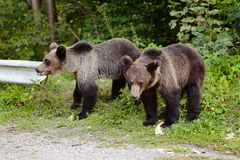 Two young bears on parking near forest. Stock Photo