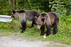 Two young bears on parking near forest. Stock Images