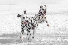 Two young beautiful Dalmatian dogs running. Selective focus royalty free stock photos