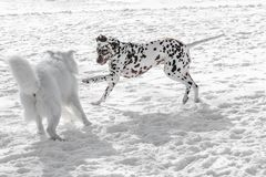 Two young beautiful Dalmatian dogs running. Selective focus royalty free stock image