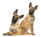 Two Young Belgian Shepherds sitting and lying down Royalty Free Stock Photo