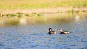 Birds in lake Stock Photography