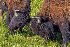 Two young Bison play at fighting in Yellowstone. Stock Photos