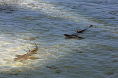Two young black point reef sharks Stock Photography