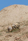 Two young black-tailed prairie marmot (Cynomys Ludovicianus) Stock Images