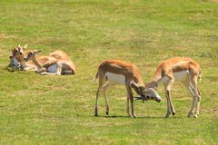 Two young blackbuck, or Indian antelopes, fight stock images