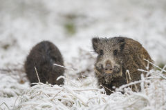 Two young boar Stock Photos