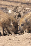 Two young boars Stock Images