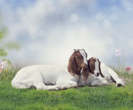 Two young Boer goats stock photo