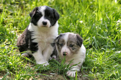 Two young border collies. Looking towards you royalty free stock photos