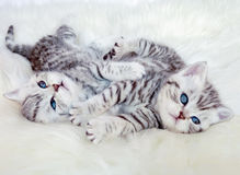 Two young british shorthair silver tabby cats lying playing toge Stock Photo