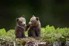 Two young brown bear cub in the fores. T. Portrait of brown bear, animal in the nature habitat. Wildlife scene from Europe. Cub of brown bear without mother Royalty Free Stock Photos