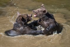 Two young brown bears playing in the water royalty free stock photography