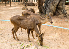 Two young brown deer in stall Stock Photos