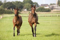Two young brown horses. Gallop on a meadow and look Royalty Free Stock Photos