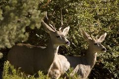 Two Young Bucks. Portrait of two young white-tailed bucks standing among vegetation Royalty Free Stock Images