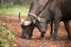 Two young buffalo with heads together royalty free stock photos