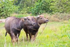 Two young buffaloes Royalty Free Stock Image