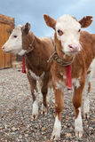 Two young bull Stock Photography