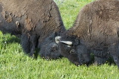 Two young bull Bison play at fighting. Royalty Free Stock Images